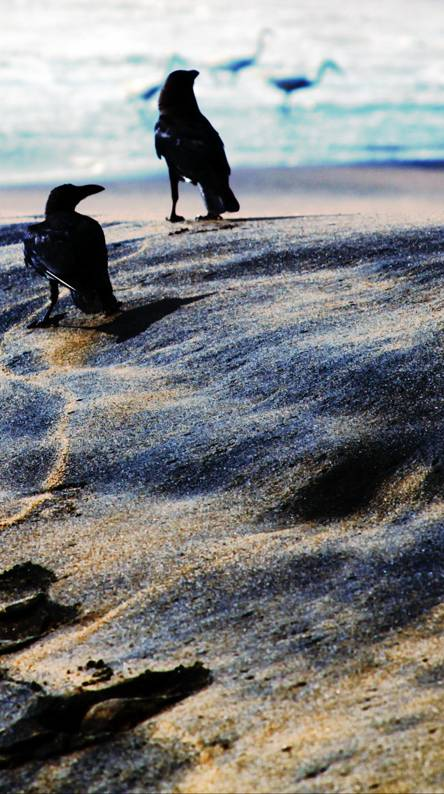 Crows at the Beach