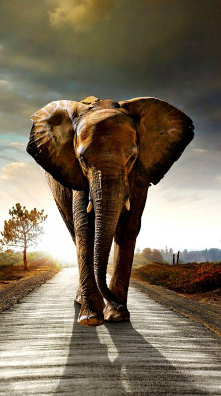 Elephant Wallpapers Free By Zedge