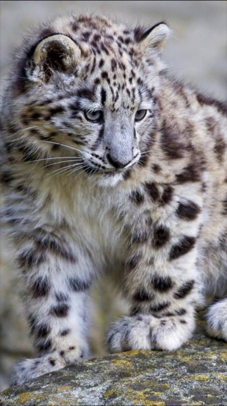 Baby Snow Leopard Wallpapers