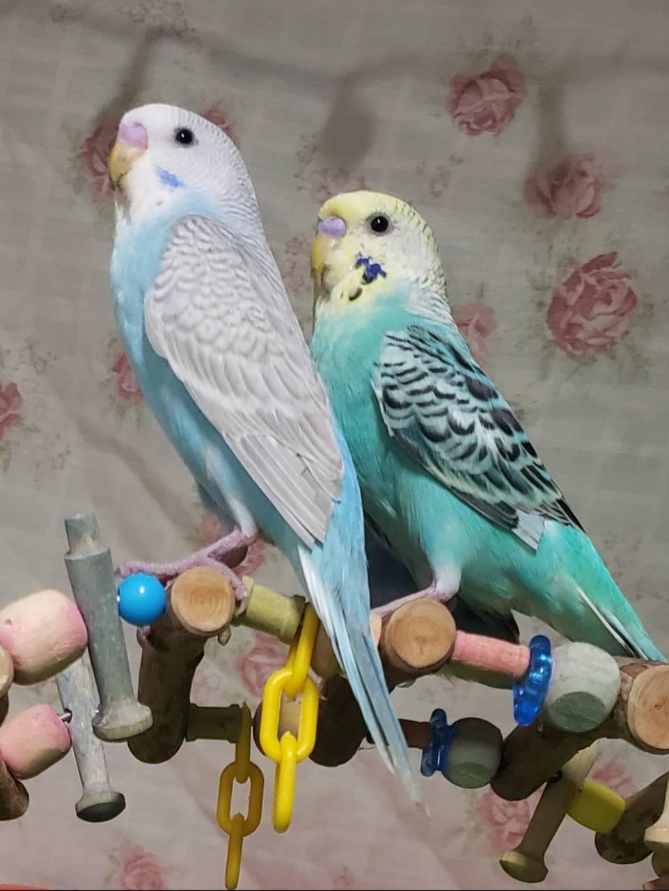 Parakeets posing