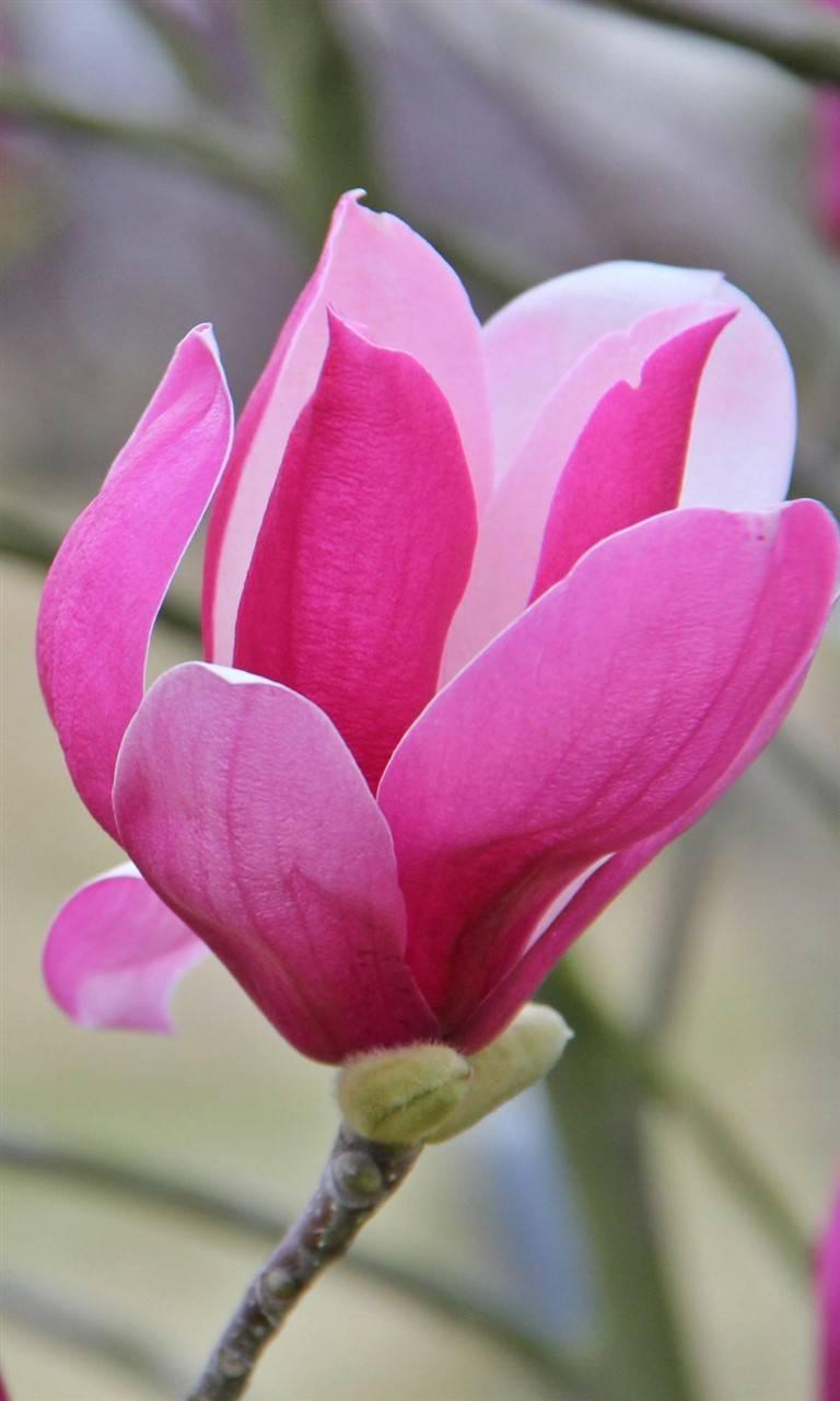 Pretty pink Kapok