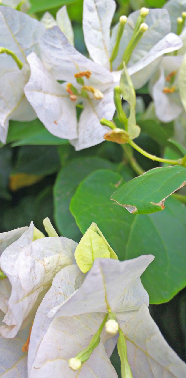 White Flowers rose