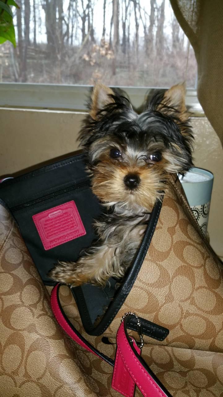 Yorkie in bag
