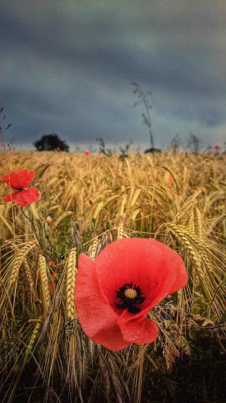 Poppy hay