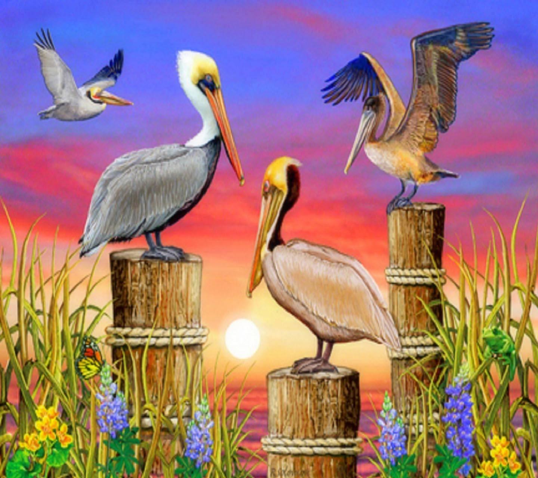 Splendor Pelicans