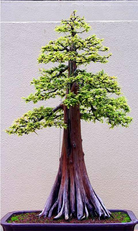 Bonsai sequoia tree
