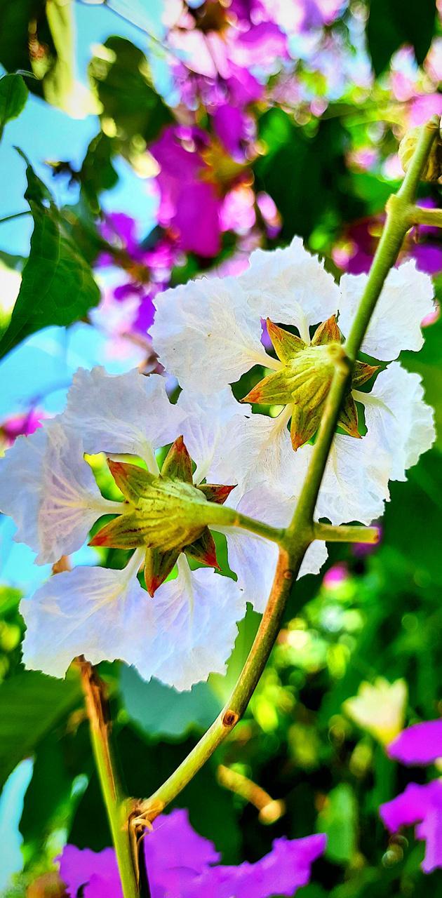 HD Flower Recent