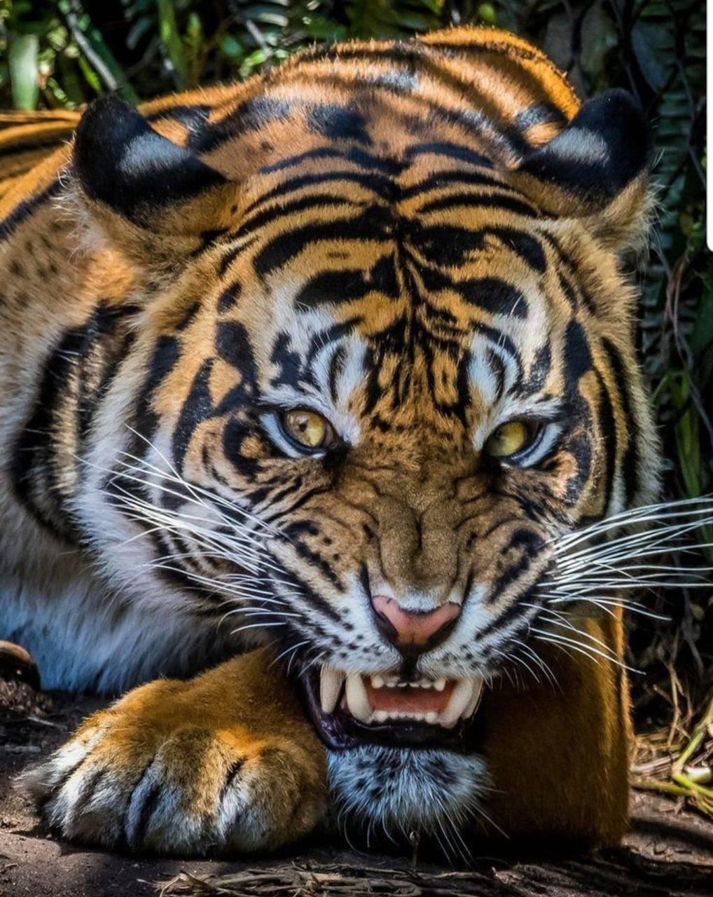 Vicious Tiger