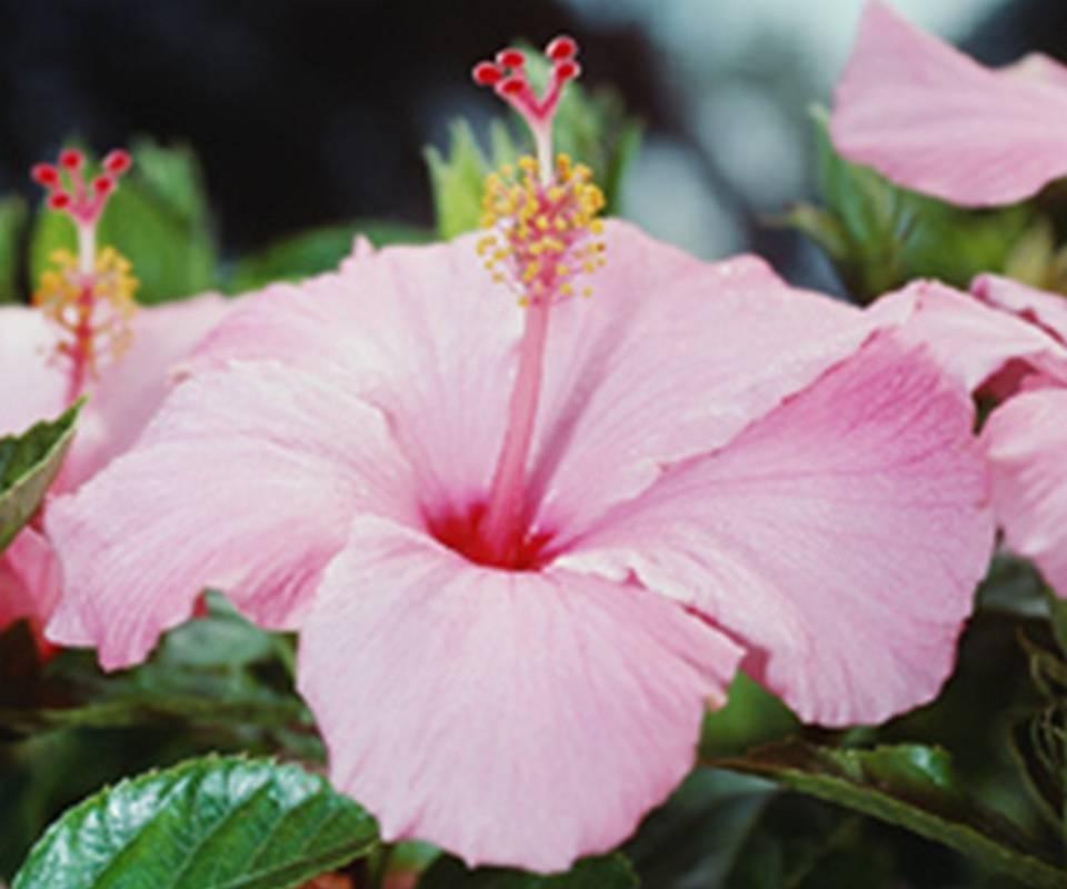 Pink Plumeria 907