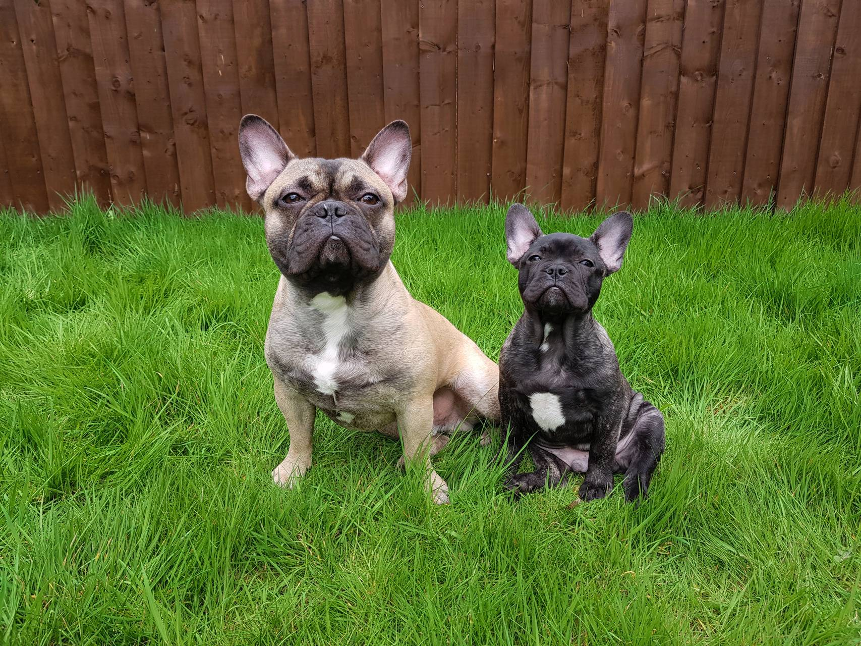 My french bulldogs