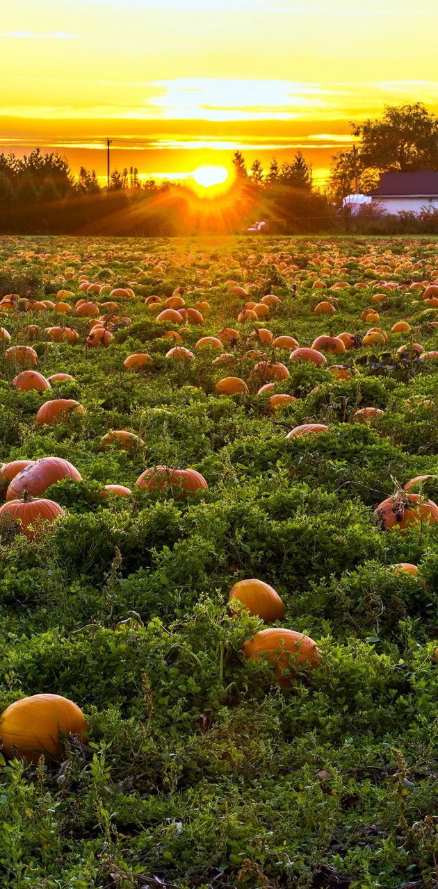 Fields Pumpkin