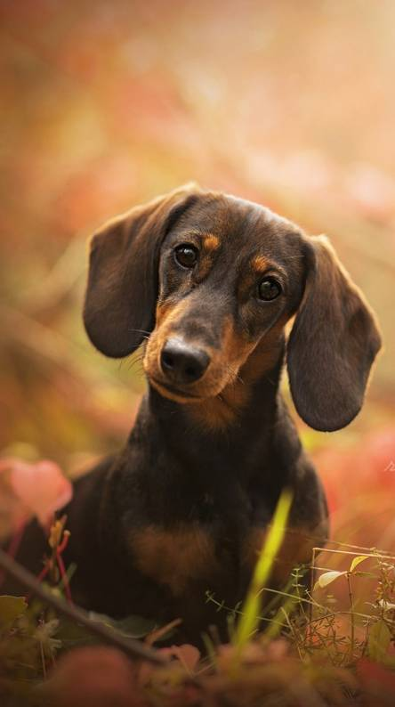 Dachshund Puppy Wallpapers Free By Zedge