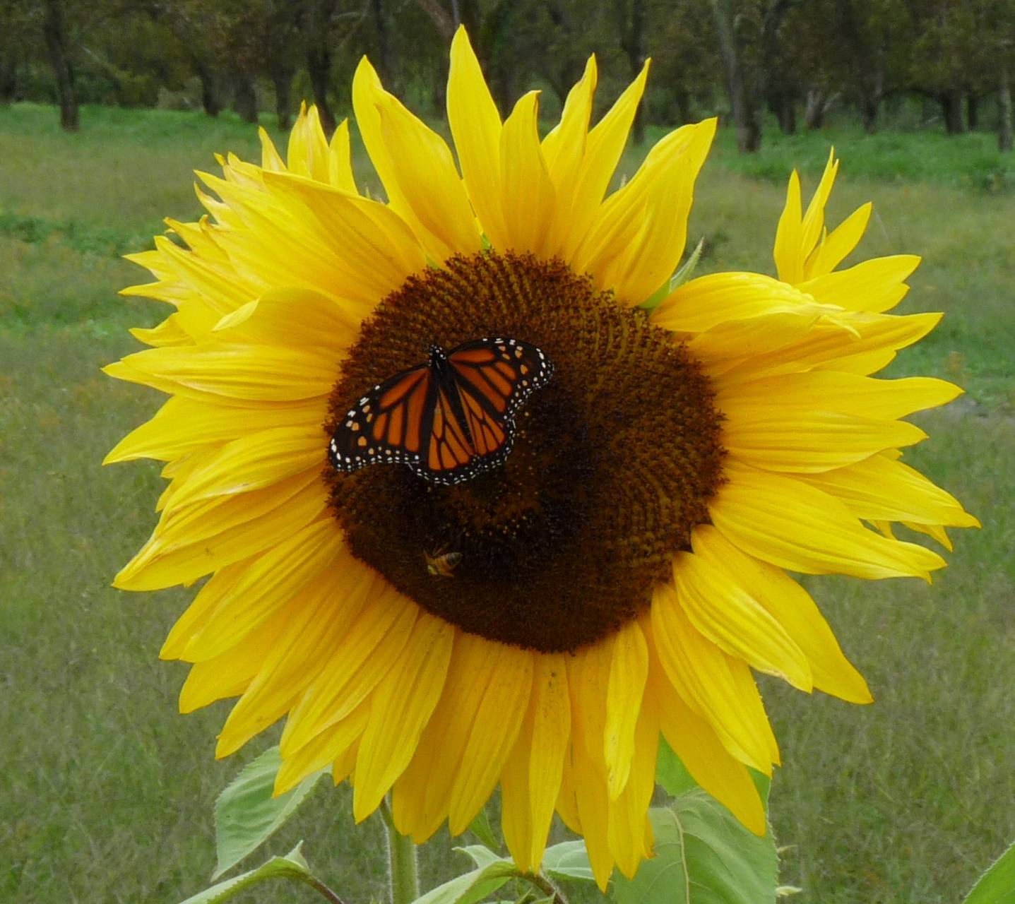 Sun Flower 2