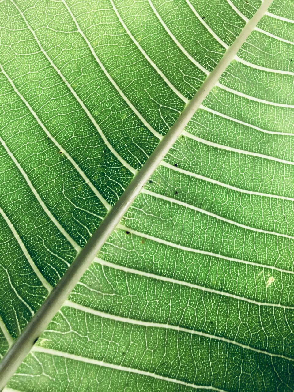 Banyan Leaf