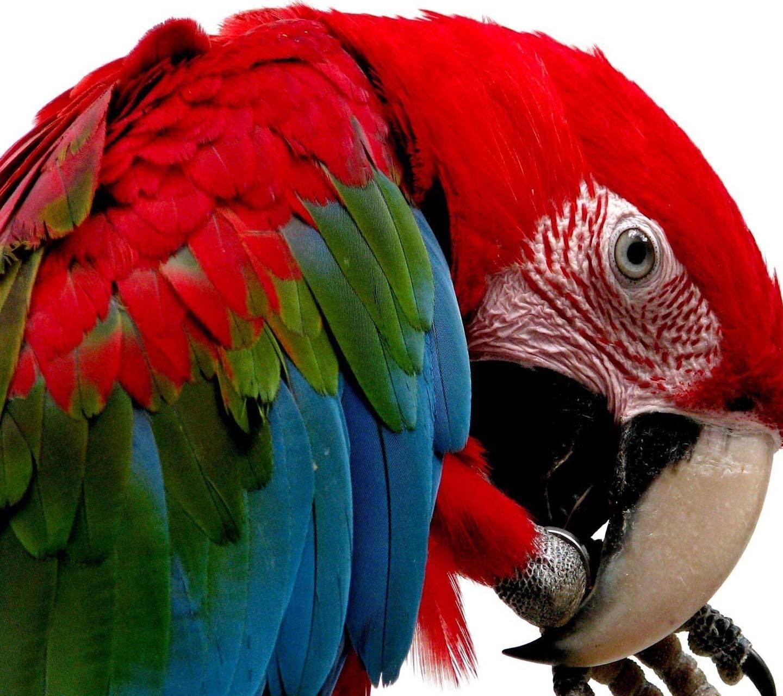 Multicolor Parrot