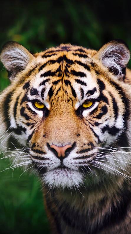 Tiger Hd Wallpapers Free By Zedge