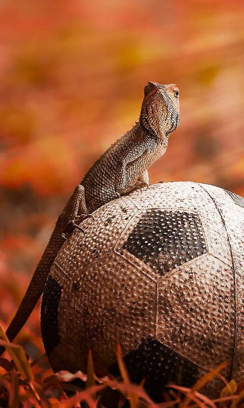 Lizard And Football
