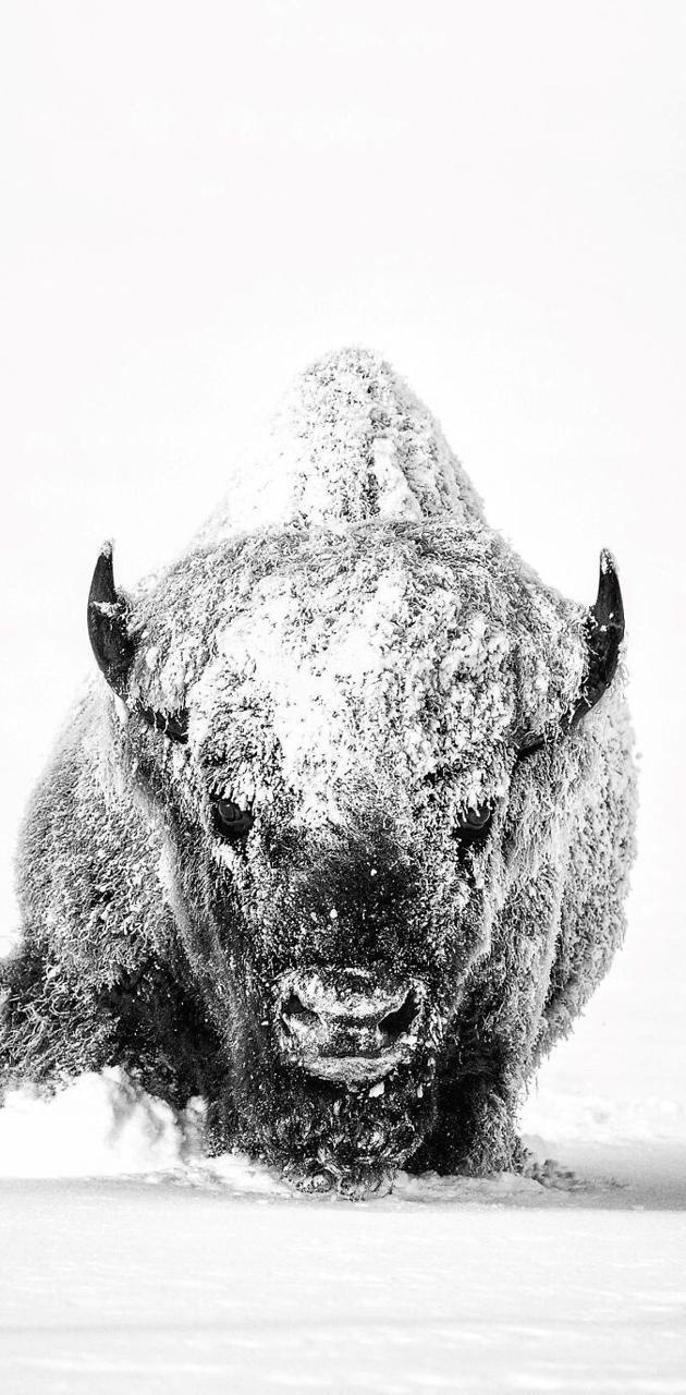 Bison through snow