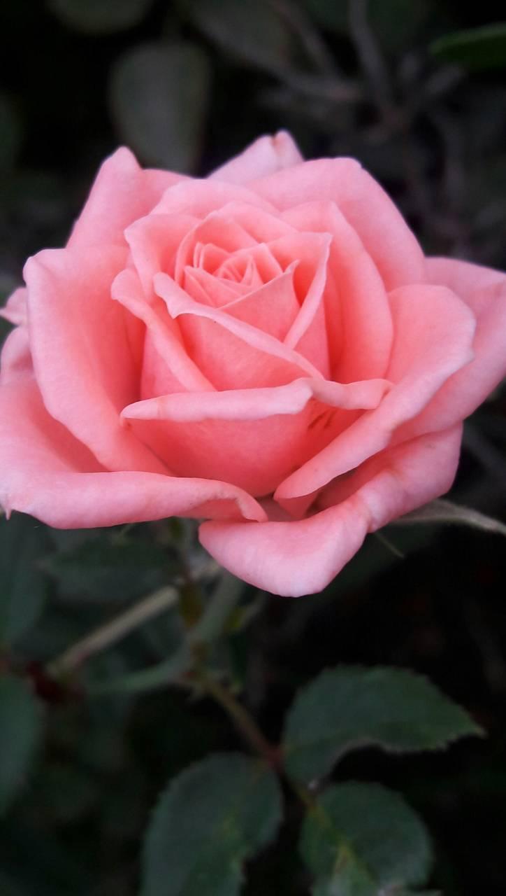 Beauty pink rose