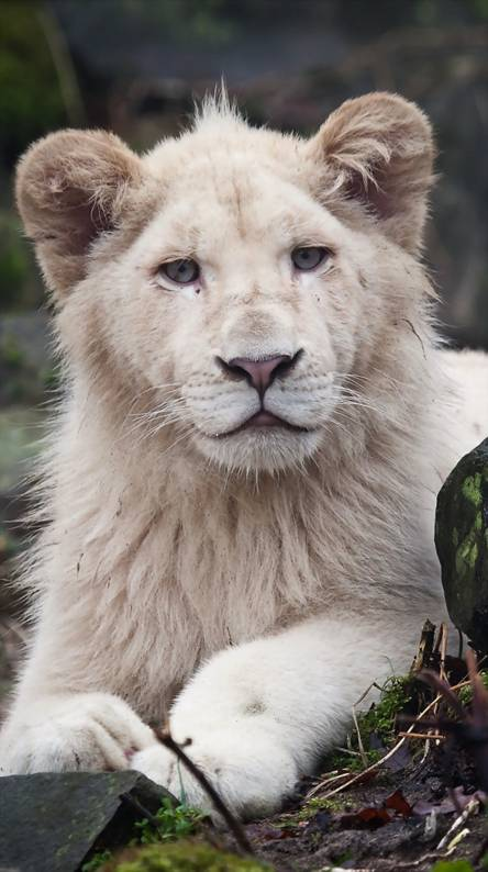 White Lion Wallpapers Free By Zedge Images, Photos, Reviews