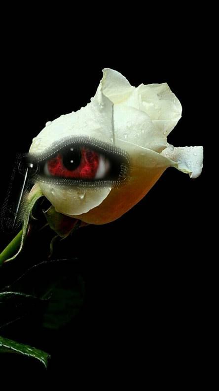 Red eyed rose