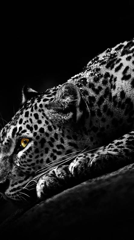 Black Jaguar Wallpapers Free By Zedge