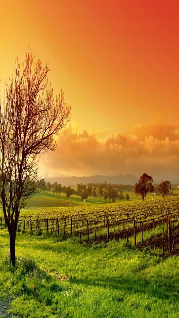 Sunset Field Tree