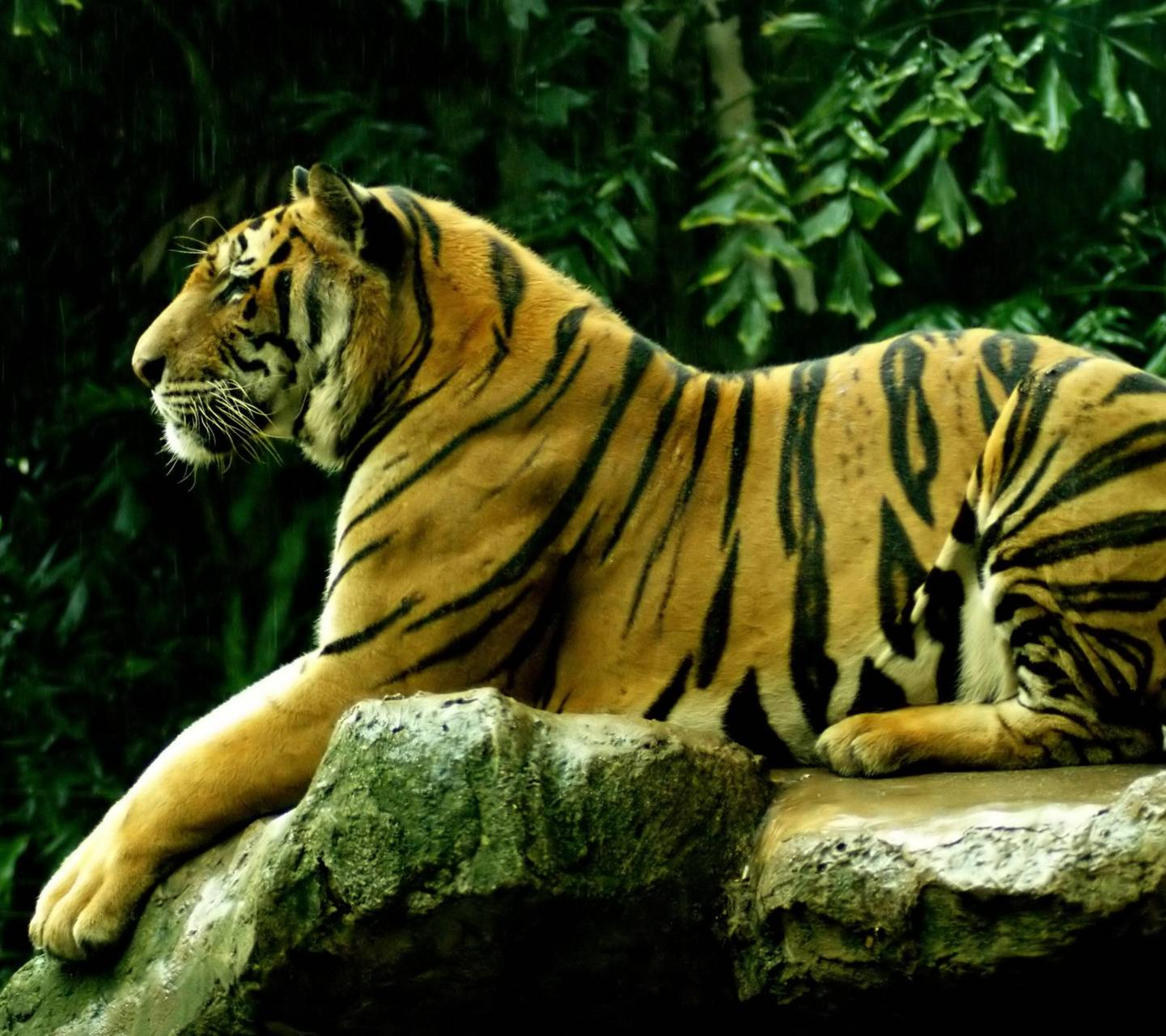 Tiger on the Forest