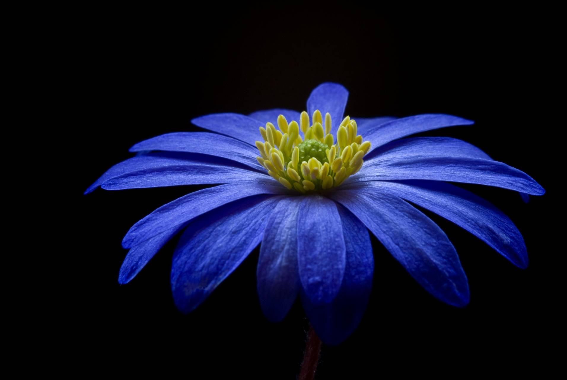 balkan-anemone-