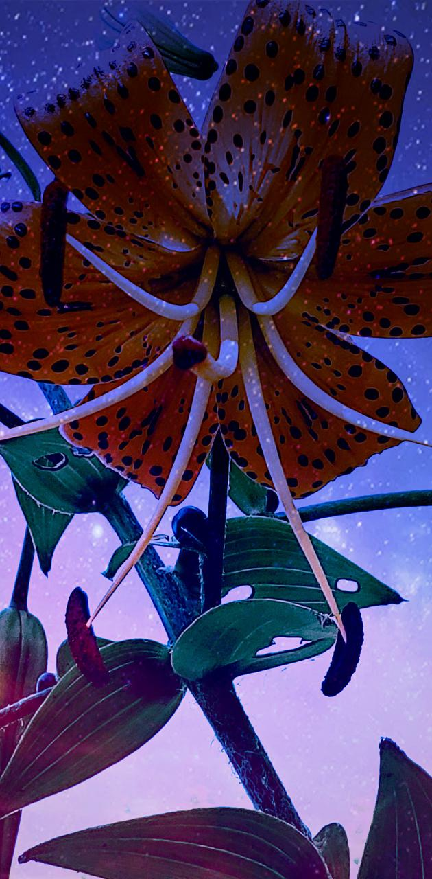 Stary Tiger Lily