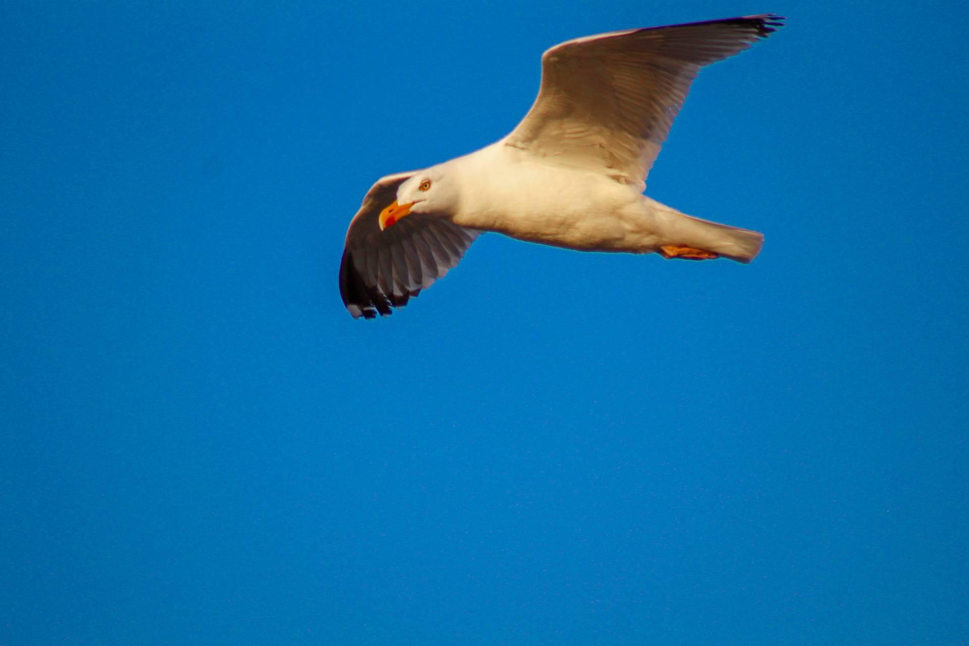 Beautyfull seagull
