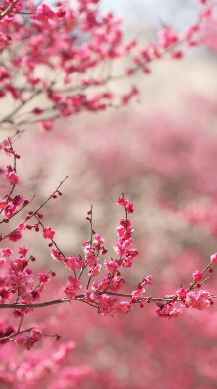 Sakura Hd