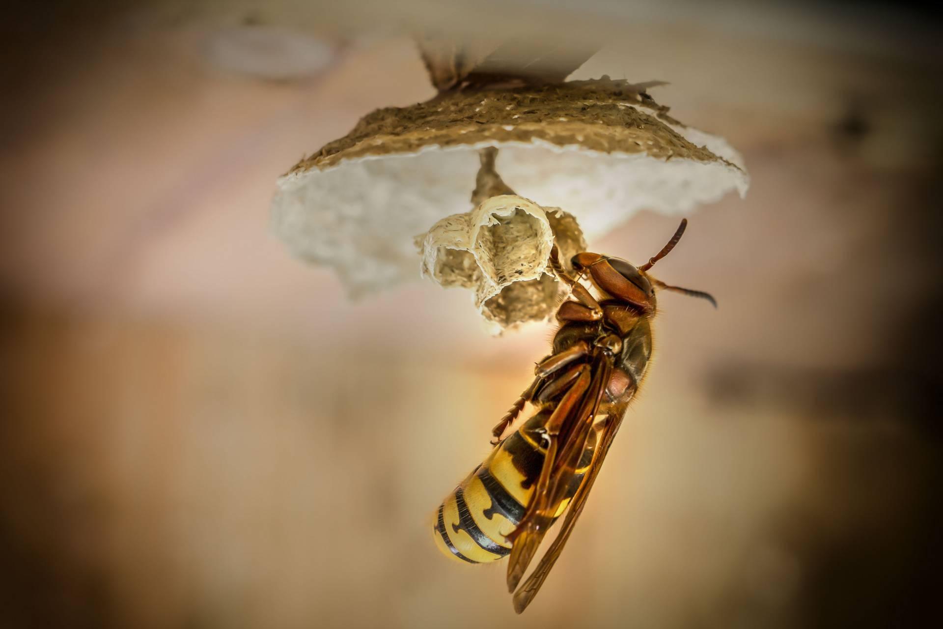 hornetking