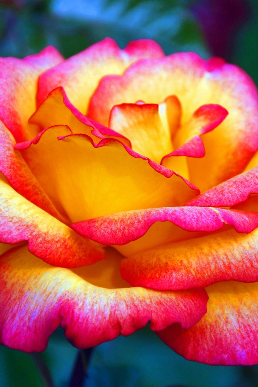 Colourful Rose Wallpaper By Mysiunia