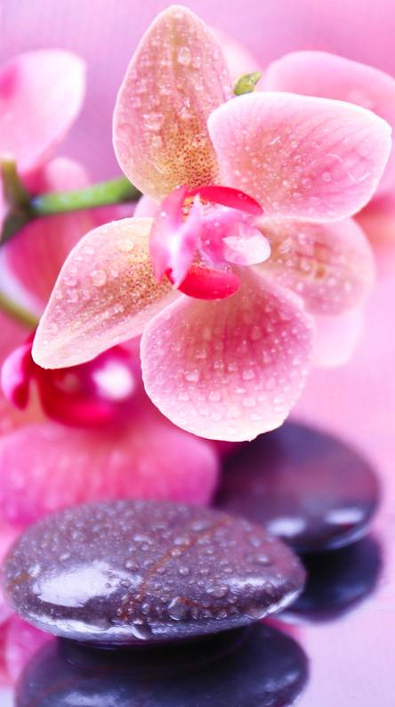 Orchids Water Stones Wallpapers