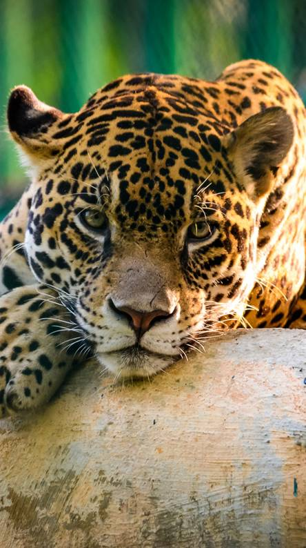Jaguar Mexico