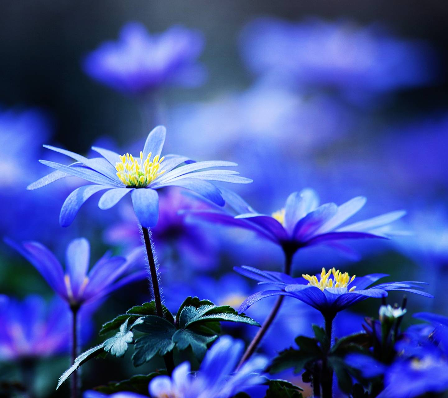 Blue Flowers Hd