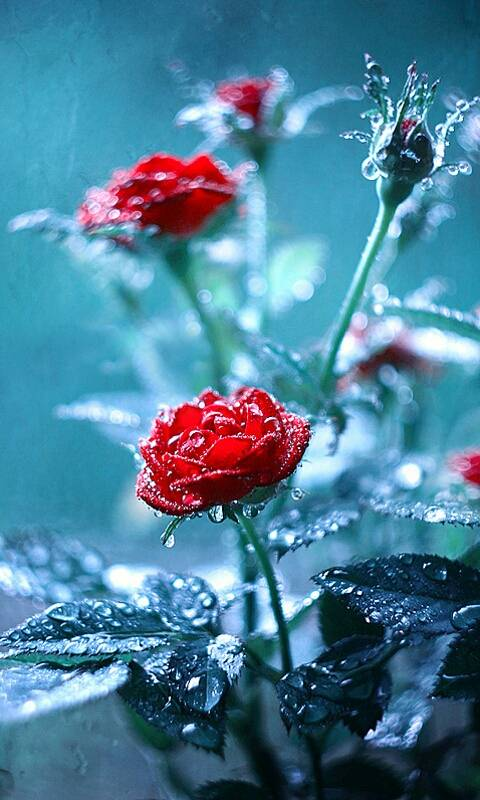 Ice Red Rose