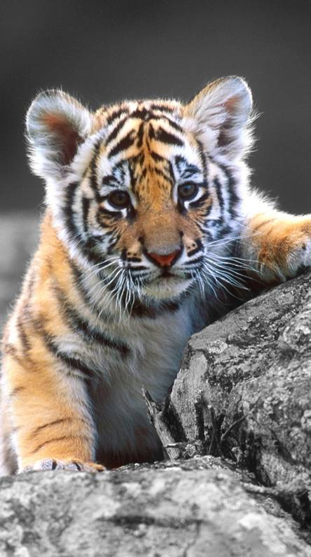 Cute Baby Tiger Wallpapers