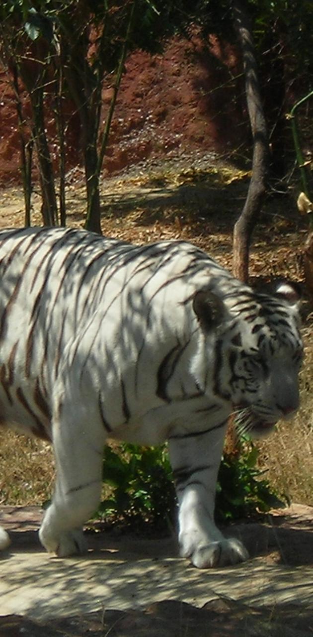 Bengal Tigire