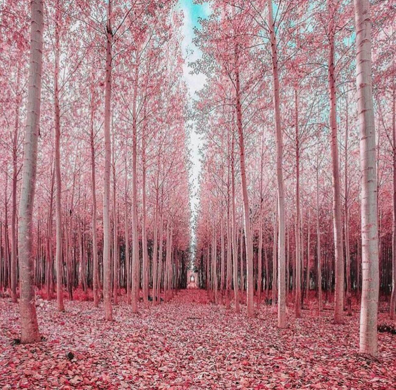 Japanese Pink Forest