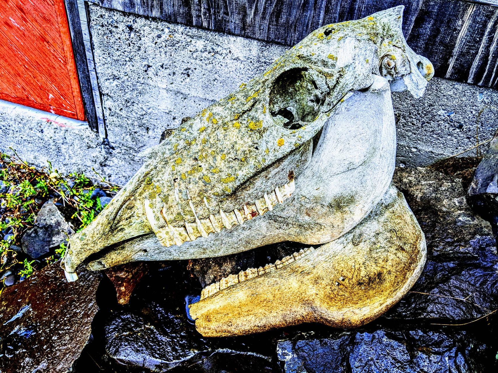 Icelandic Skull