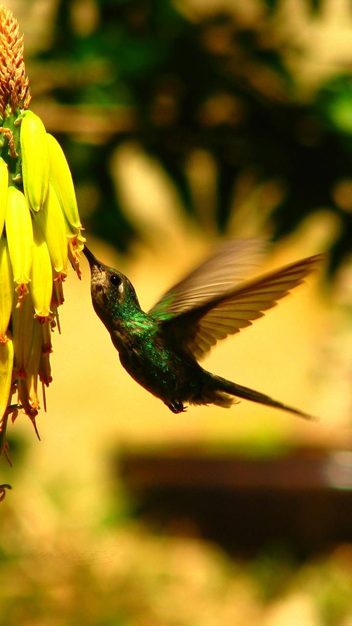 Hummingbird Colibr
