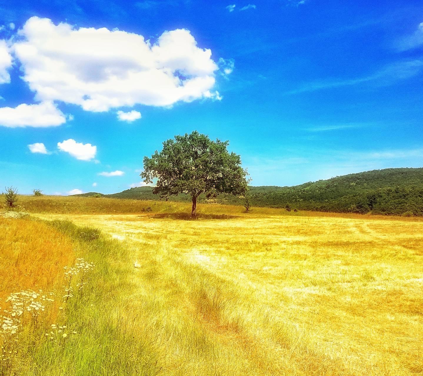 Lone tree in meadow