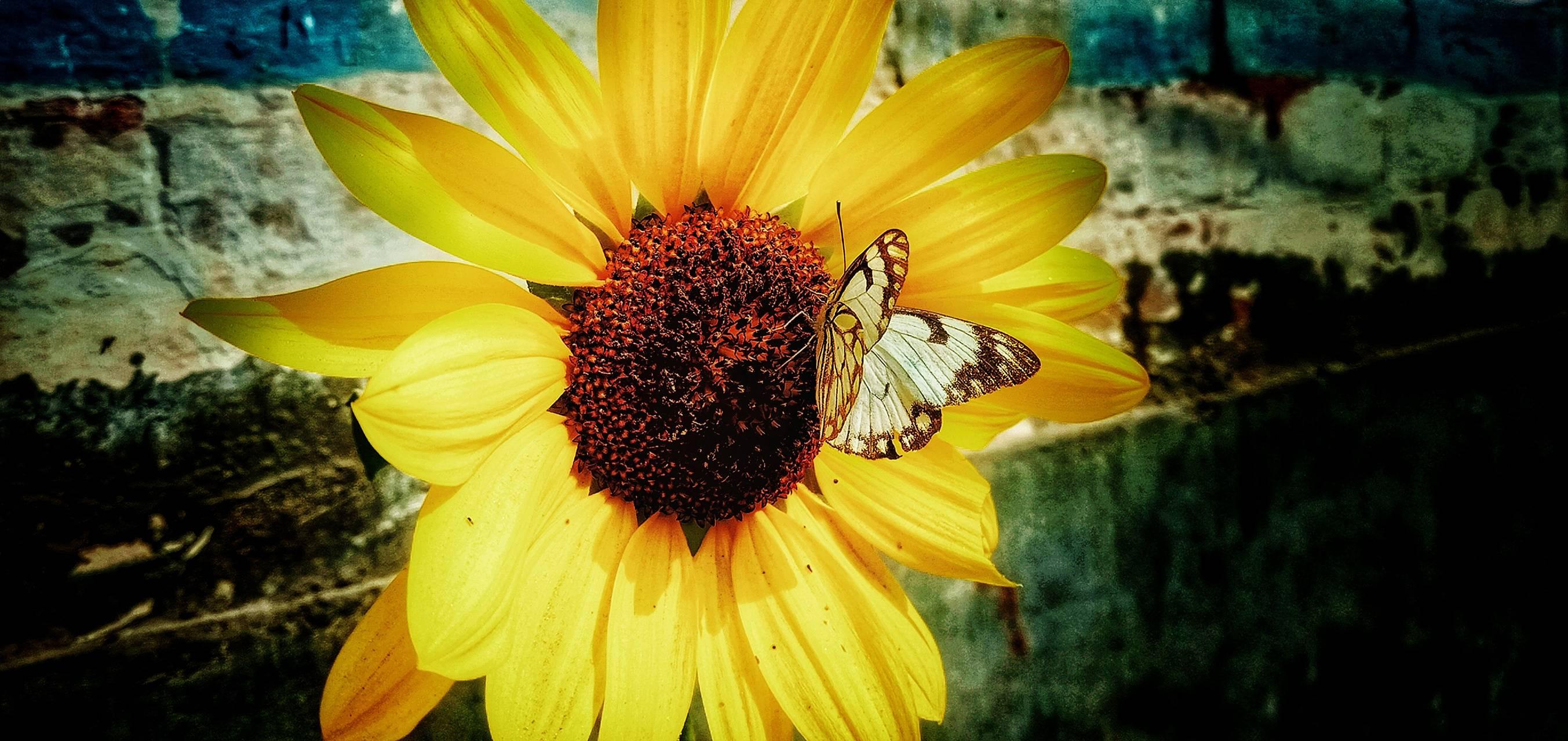 Butterfly sunflower