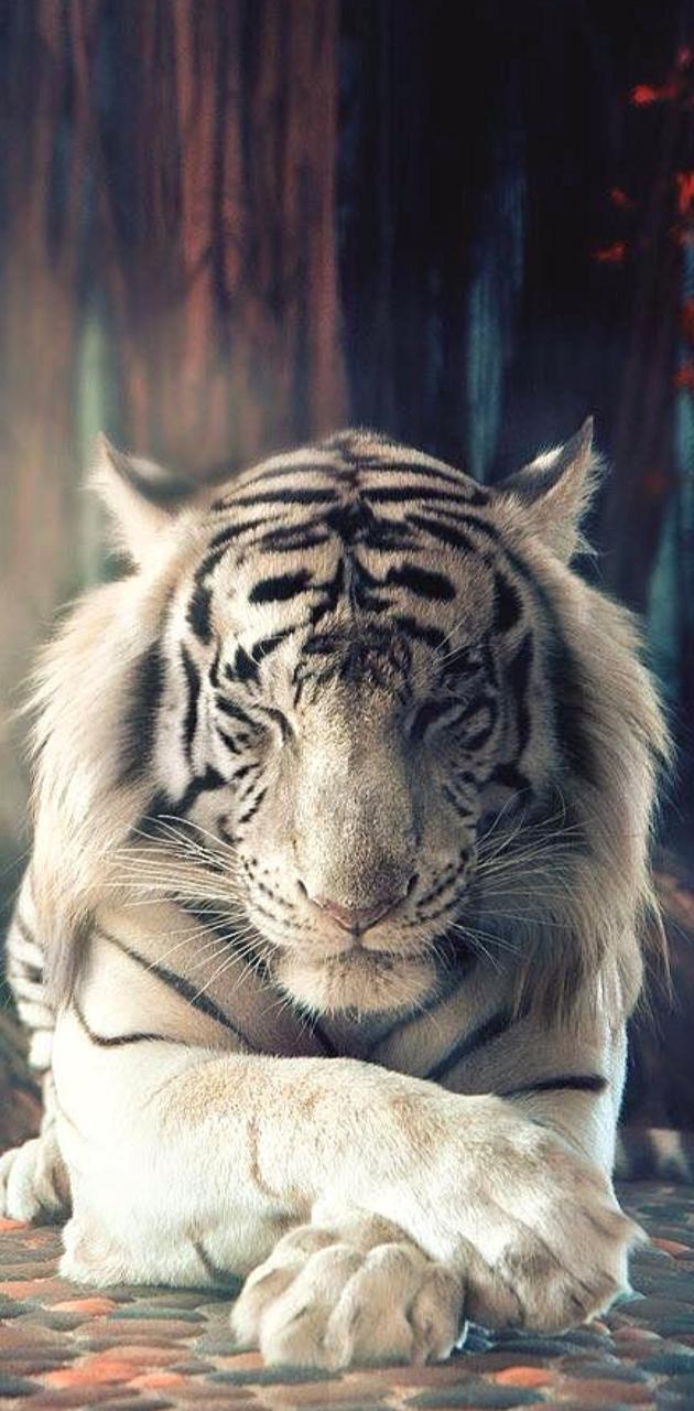 A calm tiger