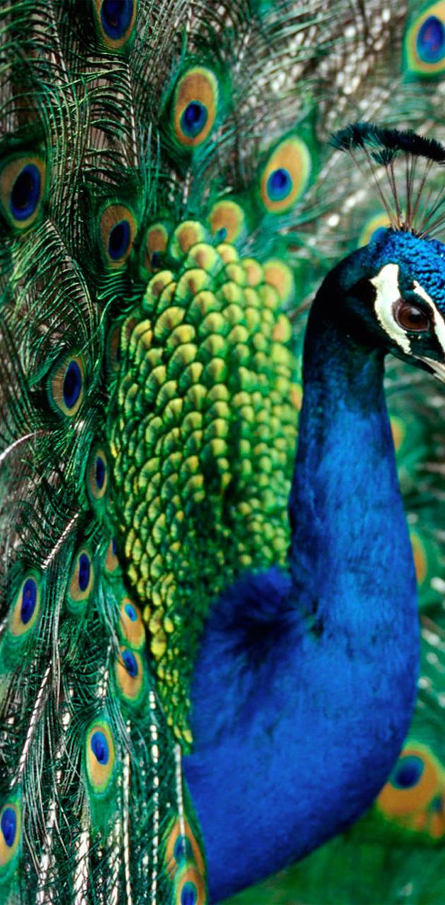 Peacock Colorful Hd