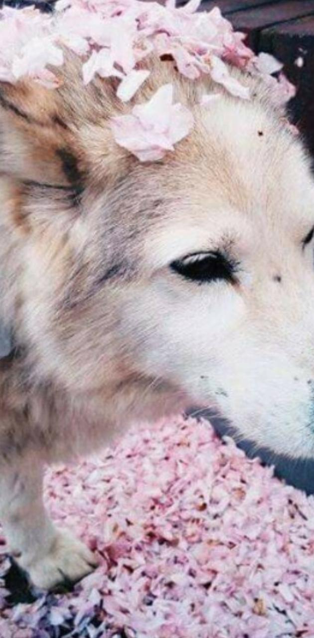 Cute Japanese Wolf