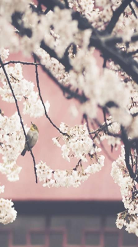 Sakura Blossam