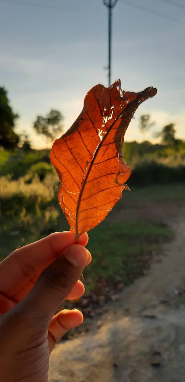 Leaves aged